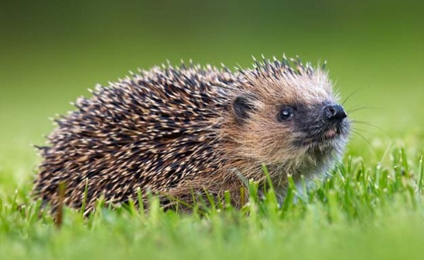 hedgehog_625x390