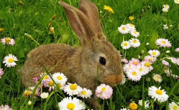 rabbit_625x390